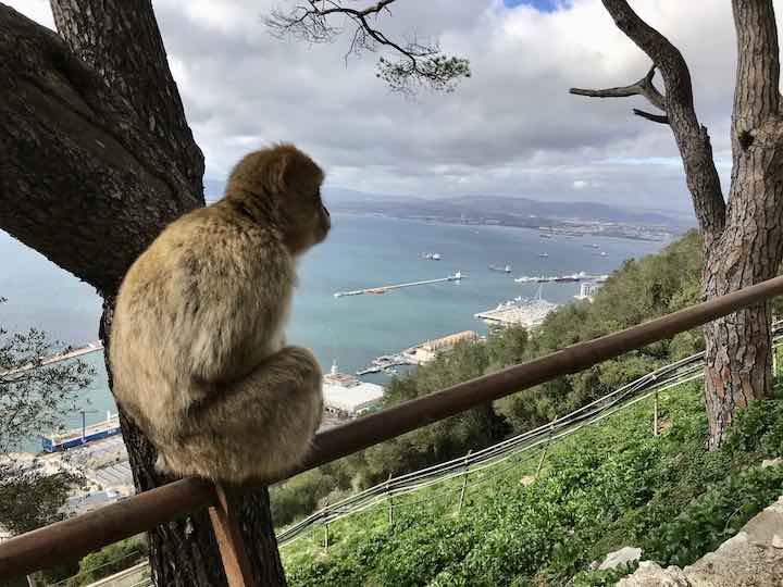 Berberaffe in Gibraltar