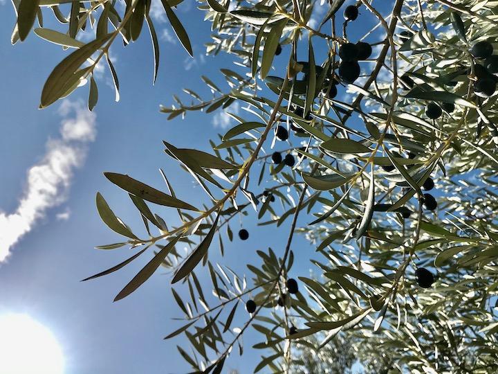 Olivenbaum und Himmel