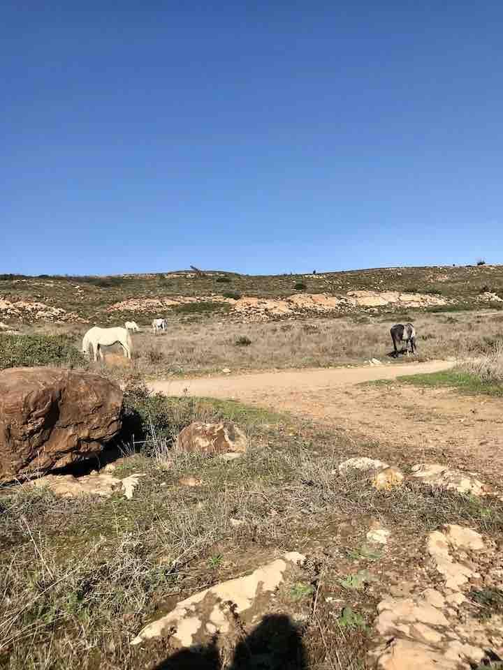 Wilde Pferde grasen La Linea