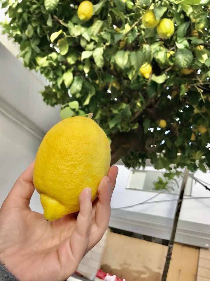 Zitronen pflücken Vanlife Andalusien