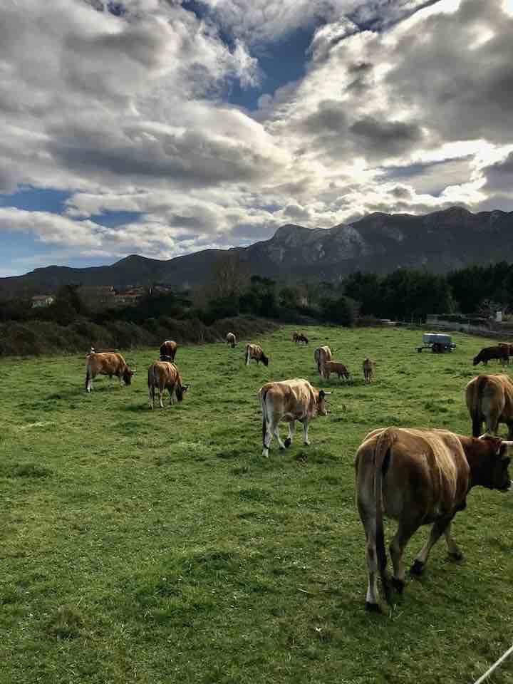 Rinder mit Bergen