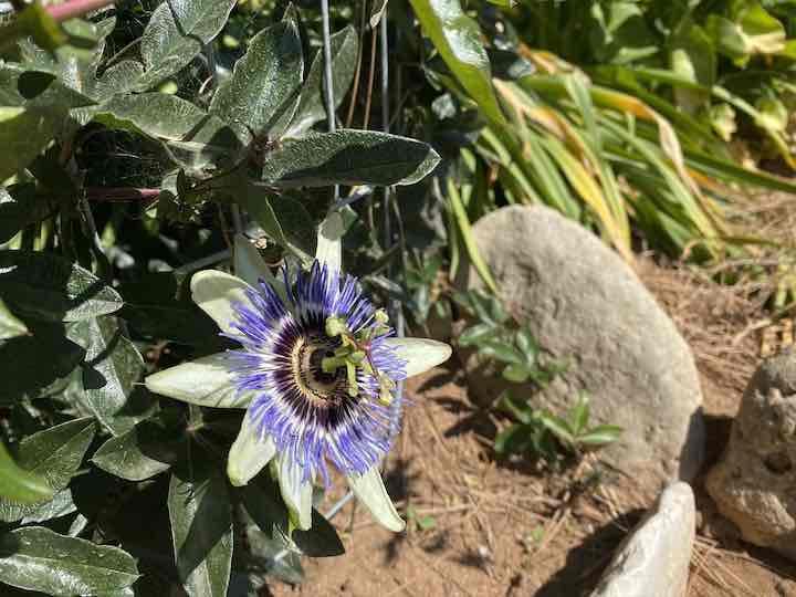Passionsblume im Garten